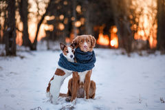 Dog Jack Russell Terrier and Nova Scotia Duck Tolling Retriever stock image