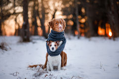 Dog Jack Russell Terrier and Nova Scotia Duck Tolling Retriever stock photography
