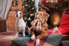 Dog Jack Russell Terrier och hundNova Scotia Duck Tolling Retriever ferie, jul arkivbilder