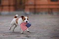 Dog Jack Russell Terrier in the old town stock images