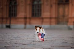 Dog Jack Russell Terrier in the old town stock photography