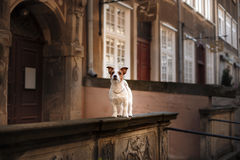 Dog Jack Russell Terrier in the old town royalty free stock photos