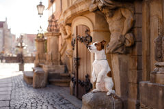 Dog Jack Russell Terrier in the old town. Dog Jack Russell Terrier walks through the old town Stock Image