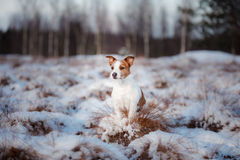 Dog Jack Russell Terrier outdoors in the winter, snow, Royalty Free Stock Photo