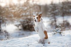 Dog Jack Russell Terrier outdoors in the winter, snow, Royalty Free Stock Photos