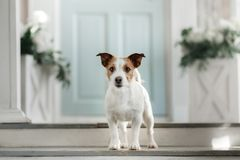 Dog Jack Russell Terrier on the porch. Pet at the door to the house stock photo