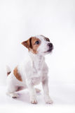 Dog Jack Russell Terrier Royalty Free Stock Photos