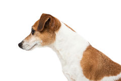 Dog  Jack Russell terrier profile Stock Photo