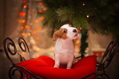 Dog Jack Russell Terrier. Puppy. Christmas, Royalty Free Stock Image