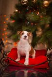 Dog Jack Russell Terrier. Puppy. Christmas, Royalty Free Stock Photography