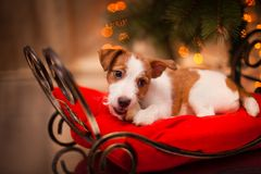 Dog Jack Russell Terrier. Puppy. Christmas, Royalty Free Stock Images