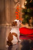 Dog Jack Russell Terrier. Puppy. Christmas, Stock Photo