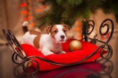 Dog Jack Russell Terrier. Puppy. Christmas,. Dog Jack Russell Terrier at the Christmas tree, fireplace on a holiday Stock Images