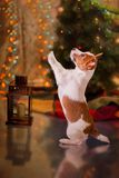Dog Jack Russell Terrier. Puppy. Christmas, Stock Images