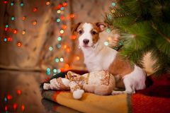 Dog Jack Russell Terrier. Puppy. Christmas, Royalty Free Stock Photos
