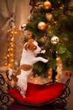Dog Jack Russell Terrier. Puppy. Christmas, Stock Photography