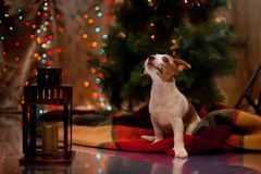 Dog Jack Russell Terrier. Puppy. Christmas, Stock Image