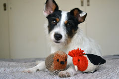 Dog. Jack Russell Terrier puppy with her toys Royalty Free Stock Image