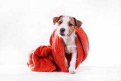Dog Jack Russell Terrier Stock Photography