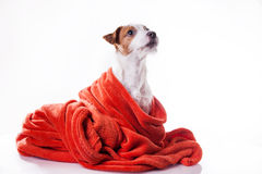 Dog Jack Russell Terrier Stock Photo
