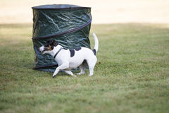 Dog, Jack Russell Terrier, running Stock Photos