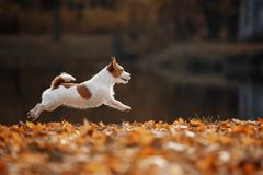 Dog Jack Russell Terrier runs on autumn leaves royalty free stock photo
