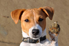 Dog, jack russell Royalty Free Stock Photo