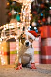 Dog Jack Russell Terrier in Santa Claus hat at home under the Ch stock photo