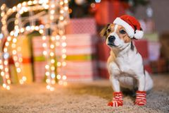 Dog Jack Russell Terrier in Santa Claus hat at home under the Ch royalty free stock photography