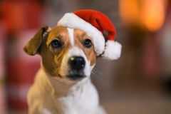 Dog Jack Russell Terrier in Santa Claus hat at home under the Ch stock image