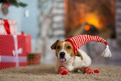 Dog Jack Russell Terrier shows tongue and teasing and celebrates. Pet dog Jack Russell Terrier shows tongue and grimace and celebrates Christmas under the royalty free stock image