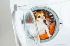 Dog Jack Russell terrier sitting inside washing machine. Laundry and dry cleaning pet service. Funny ad for your business Royalty Free Stock Photo