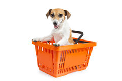 Dog jack russell terrier sitting in a shopping cart. Looking at the camera stock image