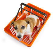 Dog jack russell terrier sitting in a shopping cart. Looking at the camera royalty free stock image