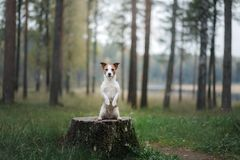 Dog Jack Russell Terrier sitting on a stump Royalty Free Stock Photography