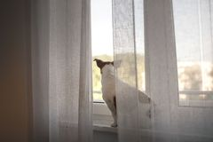 Dog Jack Russell Terrier sitting on a window. Dog Jack Russell Terrier sitting on the window behind the curtain royalty free stock photos