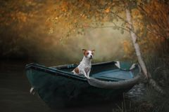 Dog Jack Russell Terrier in a boat on the water. Dog Jack Russell Terrier standing in a boat in a tree stock photo
