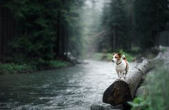 Dog Jack Russell Terrier on the banks of a mountain stream. Dog Jack Russell Terrier standing on a log by a mountain stream Stock Photography