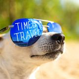 Dog Jack Russell Terrier in sunglasses. Looks up. Selective focus. The concept of vacation and travel stock image