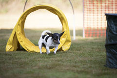Dog, Jack Russell terrier, training hoopers Royalty Free Stock Photo