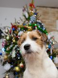 Dog jack russell terrier trimming on the table at home, Christmas tree in the background. Dog jack russell terrier trimming on the table at home, Christmas tree Royalty Free Stock Images