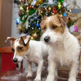 Dog jack russell terrier trimming on the table at home, Christmas tree in the background. Dog jack russell terrier trimming on the table at home, Christmas tree Stock Photos