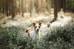 Dog Jack Russell Terrier. Walk in the forest in summer Stock Photography