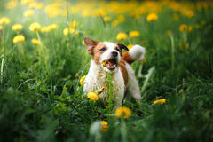 Dog Jack Russell Terrier walking Royalty Free Stock Photography