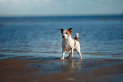 Dog Jack Russell Terrier walking Royalty Free Stock Photo