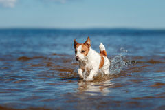 Dog Jack Russell Terrier walking Royalty Free Stock Images