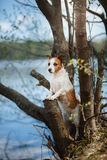 Dog Jack Russell Terrier walking Stock Photos