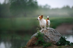 Dog Jack Russell Terrier walking Stock Images