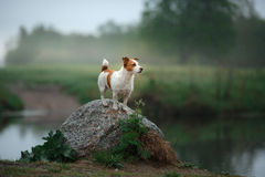 Dog Jack Russell Terrier walking Stock Image