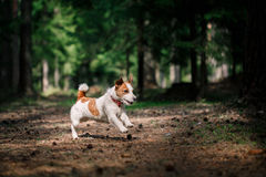 Dog Jack Russell Terrier walks on nature Stock Photo
